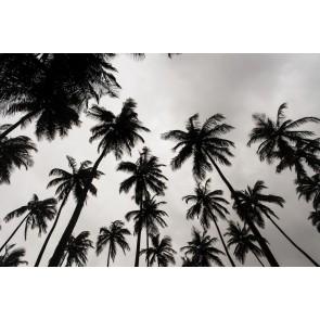 Palmiers En Noir Et Blanc