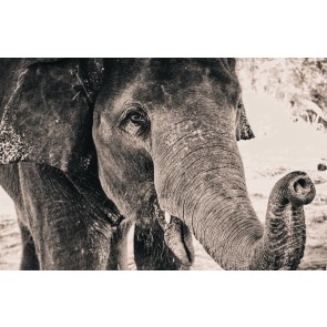 Éléphant En Noir Et Blanc
