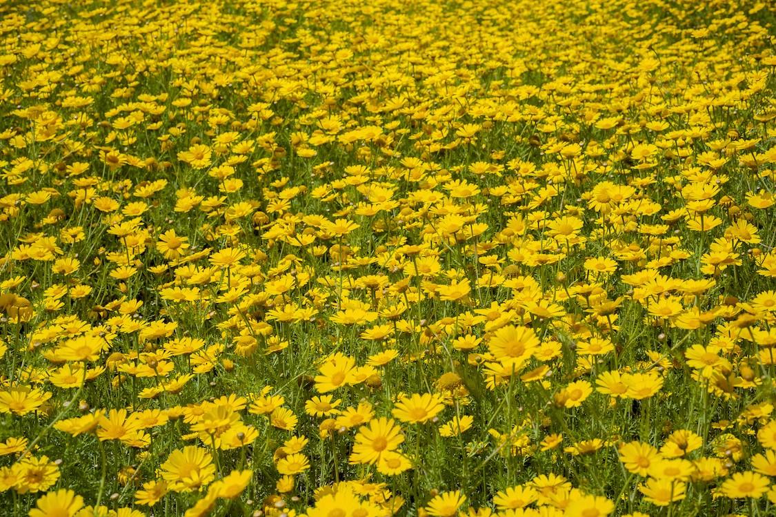 Marguerites jaunes papier peint 3d