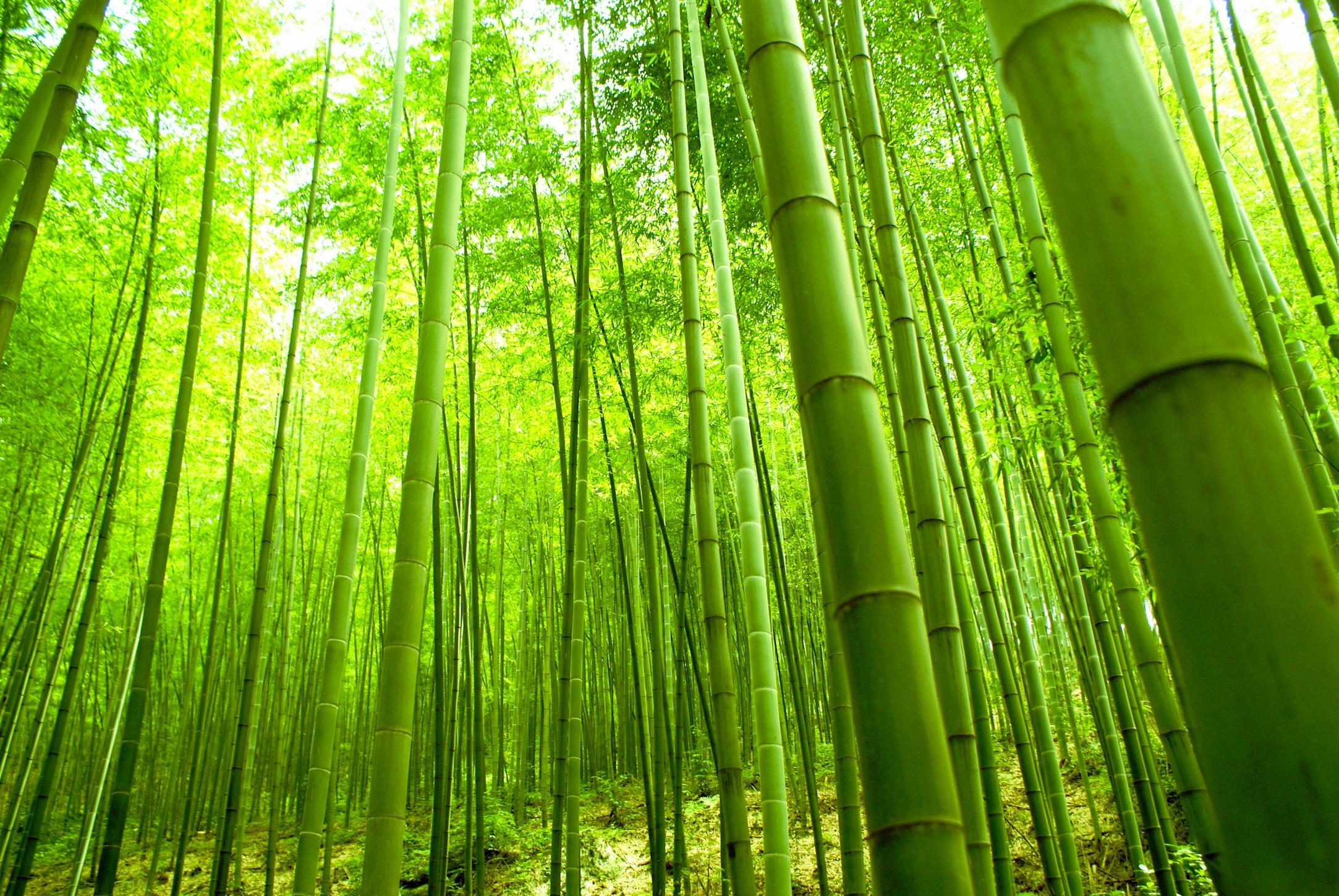 Bambou papiers peints photo