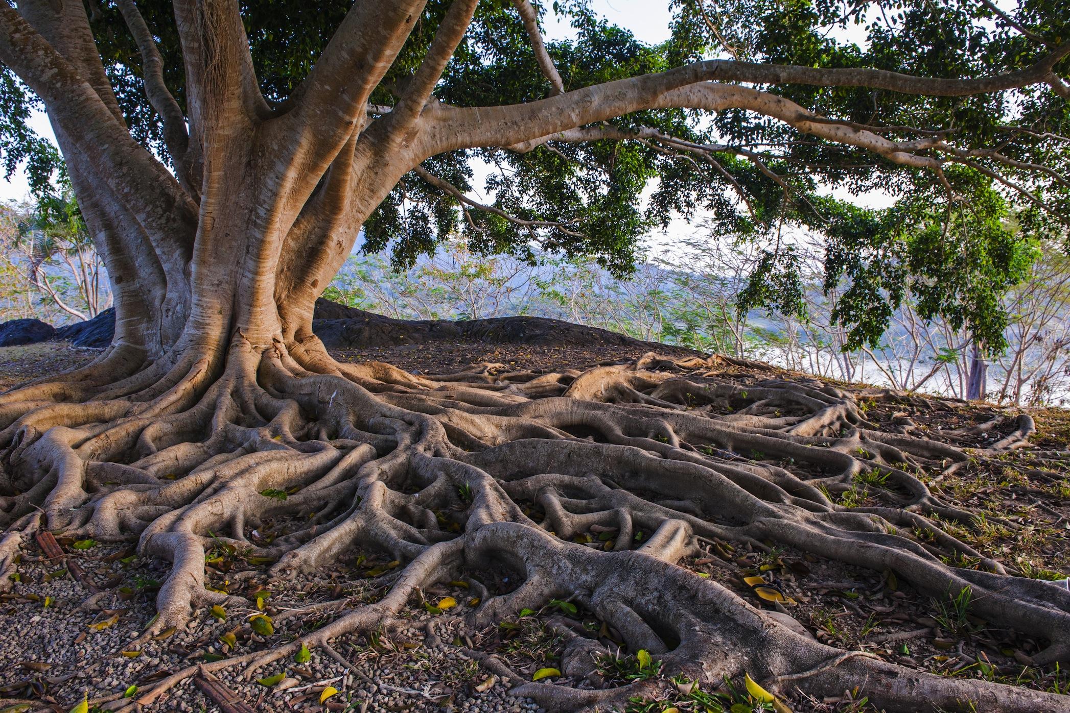 Les racines papiers peints photo 3D