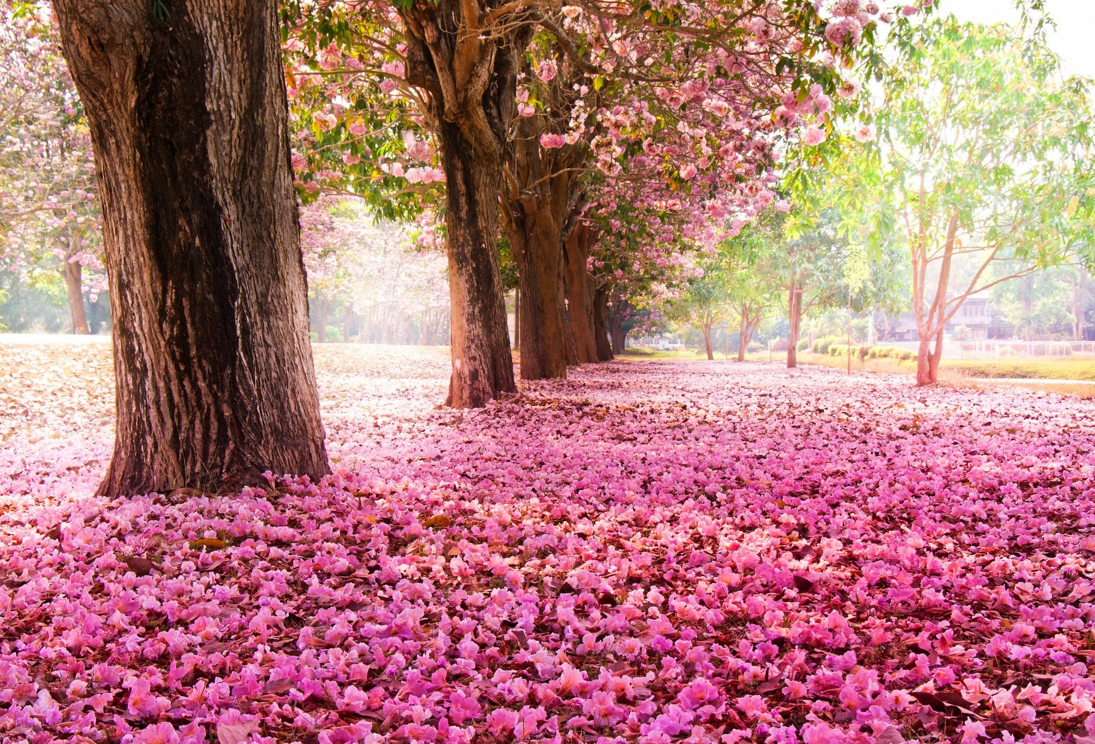 fleurs de cerisier papiers peints photo