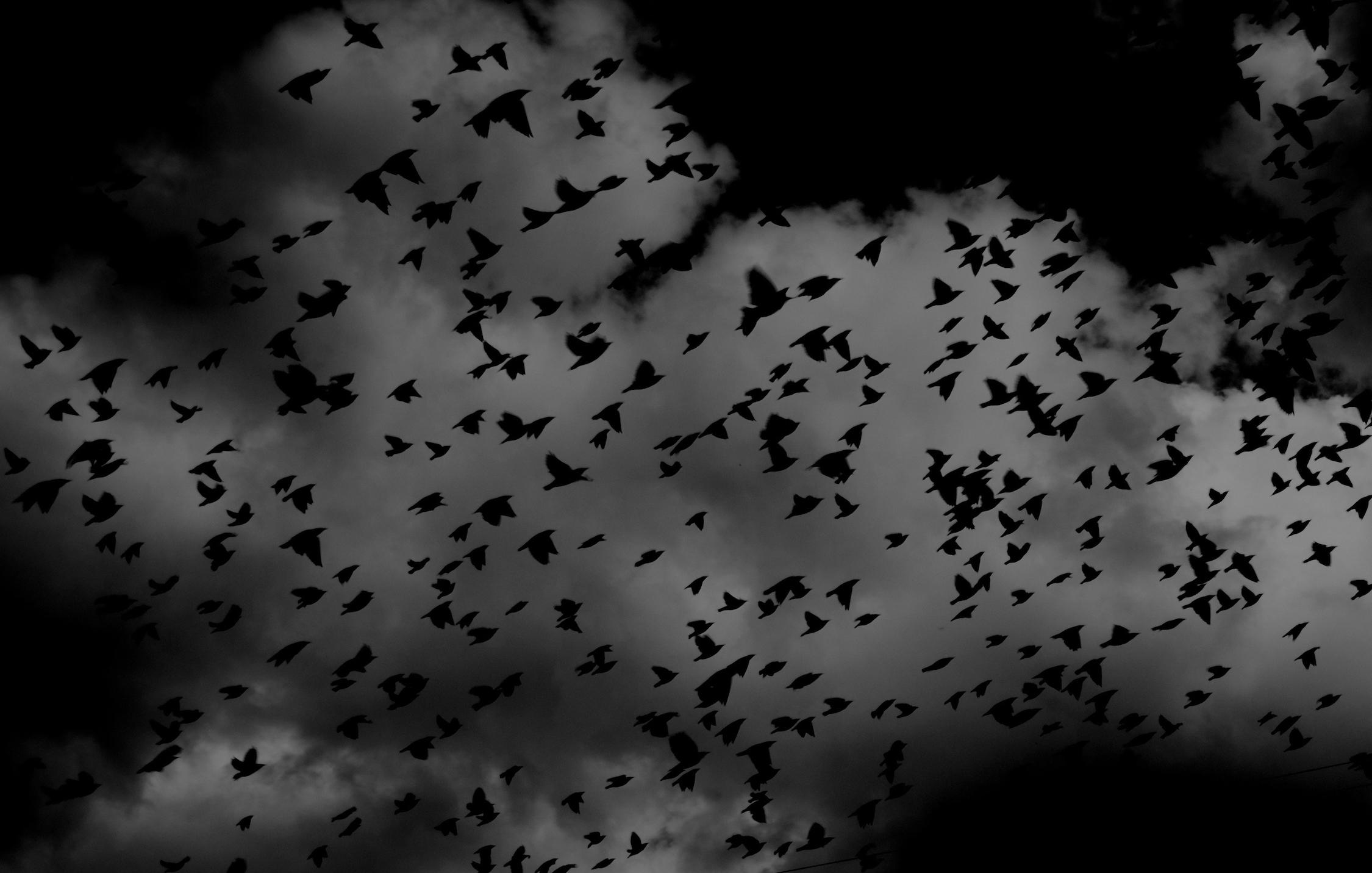 Oiseaux noirs papiers peints photo